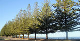 Picture relating to Esperance - titled 'Norfolk Island Pine Trees Esperance foreshore'