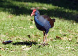 Picture relating to Chichester Range - titled 'Purple Swamphen'