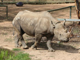 Picture of / about 'Dubbo' New South Wales - Rhino at Dubbo Zoo