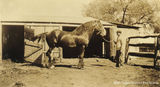 Picture relating to West Talgai - titled 'West Talgai Draughthorse'