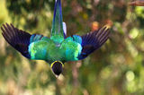 "Picture relating to Chichester Range - titled 'Ringneck Parrot (""Twenty-eight"")'"