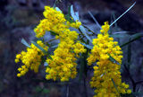 Picture relating to Mount Yarrowyck - titled 'Wattle on Mount Yarrowyck'