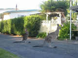 Picture relating to Sussex Inlet - titled 'Sussex Inlet Roos'
