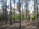 Picture of / about 'Braemar State Forest' Queensland - Braemar State Forest - trees