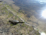 Picture relating to Narrogin - titled 'Railway Dam Narrogin wildlife one of the many long neck turtles'
