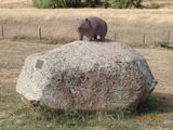 Picture relating to Wombat - titled 'Wombat on his rock 3'