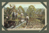 Picture relating to Marburg - titled 'Sugar cane harvest at Marburg Sugar Mill'