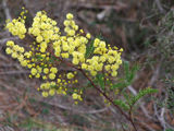 Picture relating to Belanglo State Forest - titled 'Wattle'