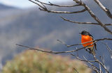 Picture relating to Mount Franklin - titled 'Reb-Breasted Robin on Mount Franklin Summit'