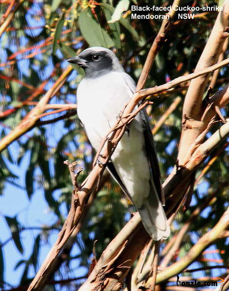 Picture of / about 'New South Wales' New South Wales - Birds of New South Wales - #5 – Coonabarabran Region