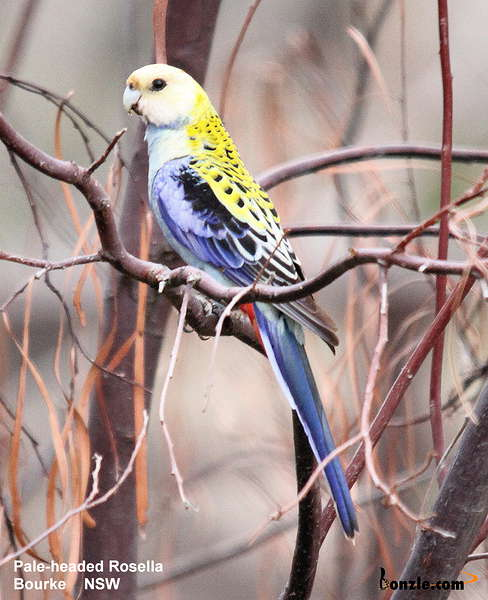 Picture of / about 'New South Wales' New South Wales - Birds of New South Wales - #12 – Bourke Region