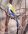 Birds of New South Wales - #12 – Bourke Region Pale-headed Rosella, Bourke, NSW