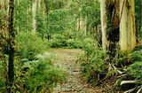 Picture of / about 'Acheron Way' Victoria - Acheron Way, Acheron bush camp ground, Marysville State Forest