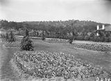 Picture relating to Canberra - titled 'Beds of tulips in the plantation outside Hotel Canberra'