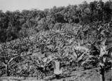Picture relating to Maleny - titled 'One of the Simpson children standing in a grove of young bananas in the Maleny district, ca. 1898'