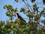Picture of / about 'Kakadu National Park' the Northern Territory - Red-tailed Black Cockatoo