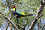 Picture relating to Chichester Range - titled 'Red-capped Parrot'