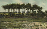 Picture relating to Rockhampton - titled 'Palm Grove, Convict Island, Rockhampton, ca. 1906'