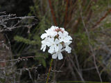 Picture relating to Manjimup - titled 'Manjimup - delicate flower in the bush'