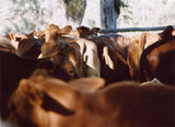 Picture relating to Buaraba - titled 'Cattle Muster at Box Gully yards, Buaraba'