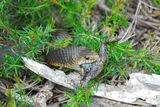 Narawntapu National Park Copperhead snake eating a native toad