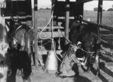 Picture relating to Allora - titled 'Gweny Smith demonstrates the first milking machine of its type on the Darling Downs, 1910-1920'