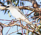 Birds of Queensland - #8 – St. George (QLD) to Lightning Ridge (NSW) White-bellied Cuckoo-shrike, Balonne River Reserve, St. George, QLD