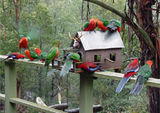 Picture relating to Tanjil Bren - titled 'Feeding the Rosellas and King Parrots, Tanjil Bren'