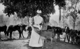 Picture relating to Queensland - titled 'Calf being bottle-fed, 1910-1920'