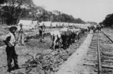 Picture relating to Chinchilla - titled 'Bullock teams working along the railway line at Chinchilla, Queensland, ca. 1895'