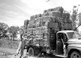 Picture relating to Round Hill - titled 'Round Hill - load of lucerne hay after pressing '