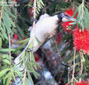 Birds of Queensland - #8 – St. George (QLD) to Lightning Ridge (NSW) Noisy Friarbird, St. George, QLD