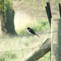 Picture relating to Gunning - titled 'Willy Wagtail'