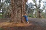 Picture of / about 'Orroroo' South Australia - The big tree
