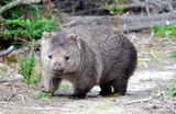 Narawntapu National Park Wombats are common in the park and can be seen in the daytime.