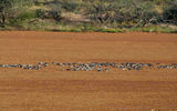 Picture relating to Gascoyne River - titled 'Birds - Carnarvon to Gascoyne Junction Road'