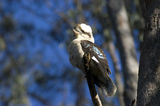 Picture of / about 'Gruyere' Victoria - Kookaburra at Gruyere
