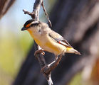 Picture relating to Timber Creek - titled 'Striated Pardalote on the Escarpment @Timber Creek'