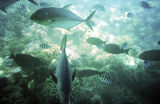 Picture relating to Cairns - titled 'Giant Trevally (GT's) on the Great Barrier Reef off Cairns'