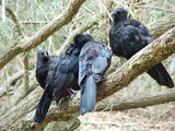 Picture relating to Mount Majura - titled 'White-winged Chough - Corcorax melanorhamphos'