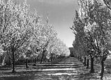 Picture relating to Yarralumla - titled 'Trees in Spring blossom at Yarralumla Nursery'