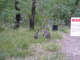 Picture of / about 'Booroomba Rocks' the Australian Capital Territory - Red necked wallabies at Booroomba Rocks