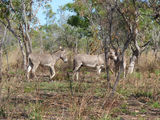 Picture of / about 'Burrguk' Western Australia - Feral donkeys