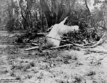 Picture relating to Blackall - titled 'Dead sheep washed up after a flood at Blackall, Queensland, 1906'