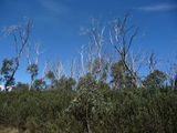 Picture relating to Bimberi Nature Reserve - titled 'Fire regrowth'