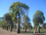 Picture relating to Boondooma - titled 'Bottle trees at Carters Corner, north of Durong'