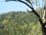 Picture relating to Mount Mudlo - titled 'Natural hoop pine stand'