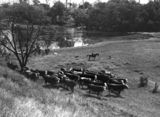 Picture of / about 'Fernvale' Queensland - Cattle pasture on the banks of the Brisbane River