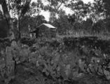 Picture relating to Chinchilla - titled 'Abandoned property overtaken by Prickly Pear in the Chinchilla area, May 1928'