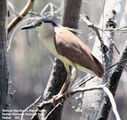 Picture relating to Victoria - titled 'Birds of Victoria - #8 - The Mallee Region'